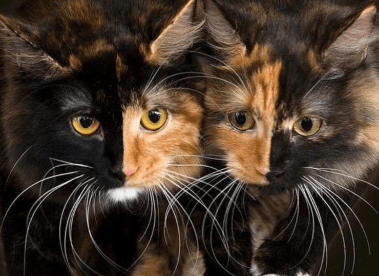 Two calico cats with mirroring faces