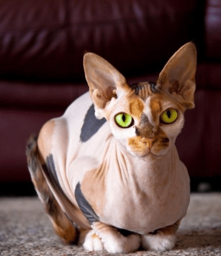 Hairless Calico cat with green eyes