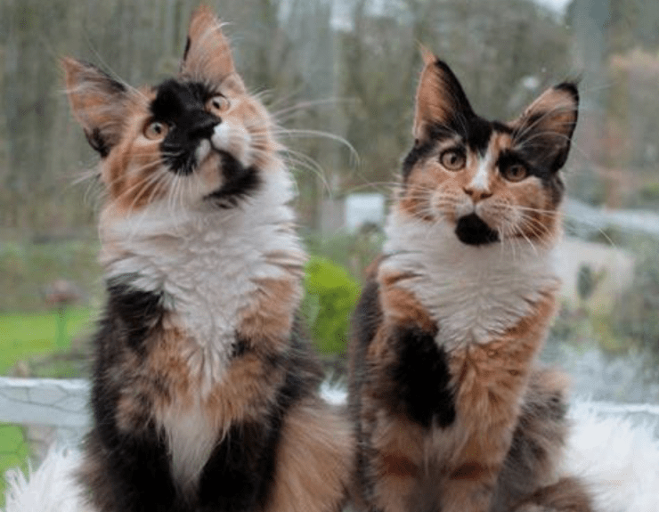 Two Calico cats sitting in a window sill.