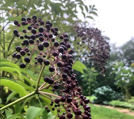 14 Elderberry Benefits featured image showing ripe elderberry cluster flowerhead on bush