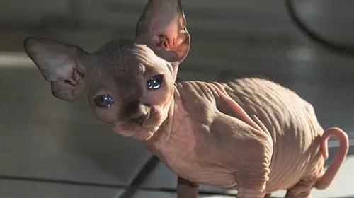Cute Siamese Kittens Wallpaper 10 Strange Breeds Of Cat What On Earth
