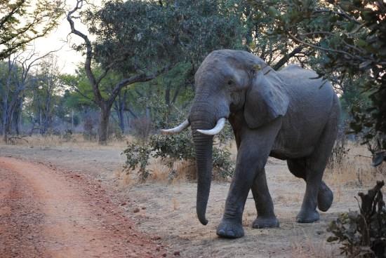 elephant-zambia-safari