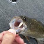 """Smallmouth on white waxmoth larvae 039 (""""budou mushi"""")"""