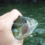 Redbreast sunfish on brown tadpole
