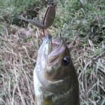 Largemouth on large fathom green shrimp. Occoquan River, VA.