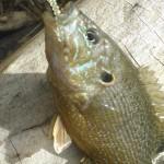 Nikko cider baitball - green sunfish small