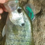 Nikko green waxworm - crappie small