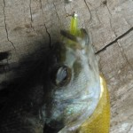 bluegill on yellow pin worm small