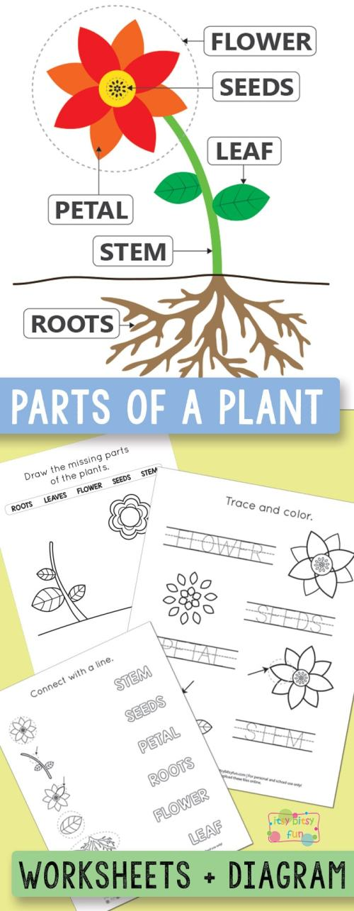 small resolution of Free Printable Parts of a Plant Worksheets - itsybitsyfun.com