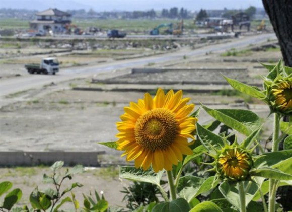 fukushima sunflowers3 580x421 ดอกทานตะวันนับล้านกำลังช่วยดูดซับสารกัมมันตภาพรังสีที่ ฟูกูจิมา