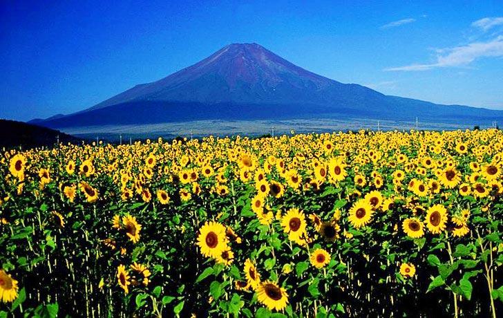 ดอกทานตะวันนับล้านกำลังช่วยดูดซับสารกัมมันตภาพรังสีที่ ฟูกูจิมา 13 - Koyu Abe