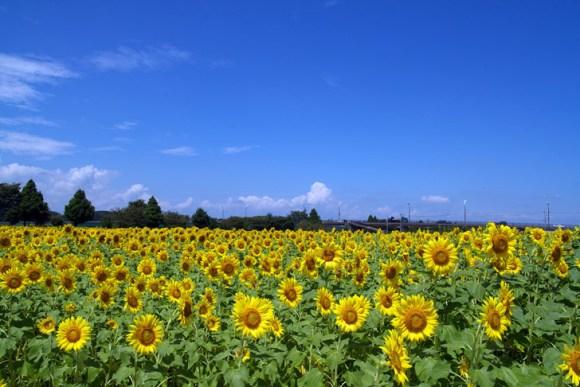 ดอกทานตะวันนับล้านกำลังช่วยดูดซับสารกัมมันตภาพรังสีที่ ฟูกูจิมา 15 - Koyu Abe