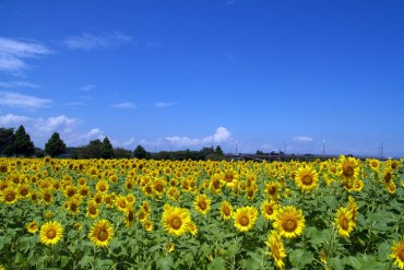 sunflowers-japan-radiation-photo-by-Kazuhiko-Teramoto