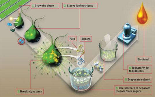 พลังงานจากสาหร่าย..อนาคตพลังงานของไทย 17 - biodiesel