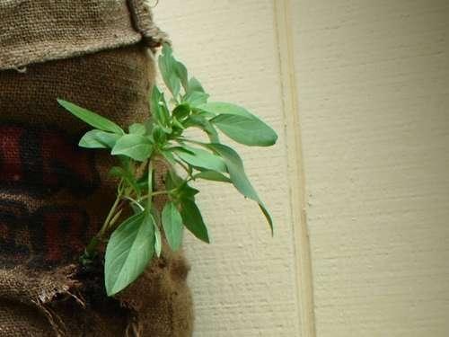 25550509 192902 Garden Sack สวนกระสอบ...ปลูกผักสวนครัว แบบไม่ต้องการพื้นที่
