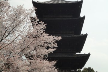 Five-storied pagoda and bloomed sakura flower in April
