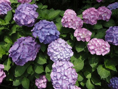 6 18 2012 8 02 19 PM 466x350 World travel with Hydrangea