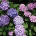 World travel with Hydrangea 28 - Flower