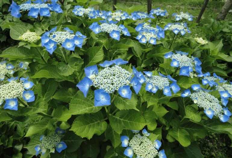 World travel with Hydrangea 13 - Flower