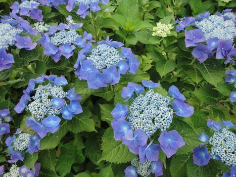 greenshot 2012 06 13 21 30 09 467x350 สิ่งที่น่ารู้เกี่ยวกับดอกไฮเดรนเยีย Hydrangea