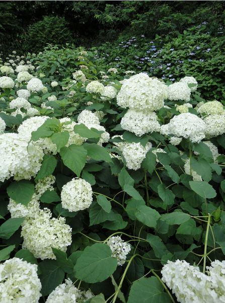 สิ่งที่น่ารู้เกี่ยวกับดอกไฮเดรนเยีย Hydrangea 17 -