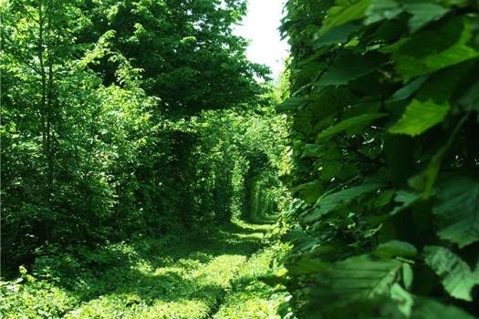 25550926 235829 อุโมงค์สีเขียว.. อุโมงค์แห่งรัก.. เส้นทางในธรรมชาติสำหรับรถไฟ และคนรักกัน..ที่สุดแสนโรแมนติก