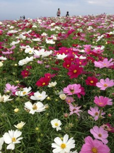 Basic colored cosmos flowers