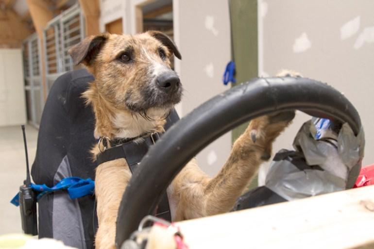 driving dogs สอนน้องหมาขับรถ 13 - cars