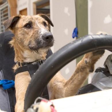 driving dogs สอนน้องหมาขับรถ 15 - cars