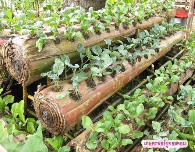25561019 090233 ปลูกผักบนต้นกล้วยที่กำลังจะตาย ลำต้นฉ่ำน้ำและฟรีโปรแทสเซียม