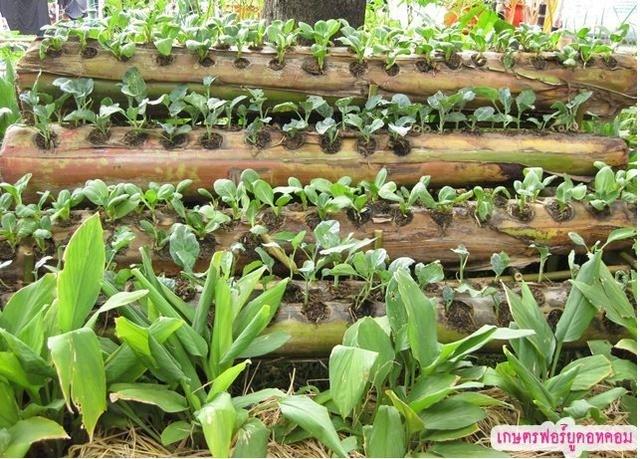 25561019 090238 ปลูกผักบนต้นกล้วยที่กำลังจะตาย ลำต้นฉ่ำน้ำและฟรีโปรแทสเซียม