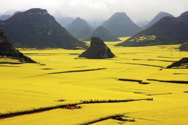 ทะเลทุ่งดอกแรปซีด สีเหลืองสะพรั่งที่ Luoping ประเทศจีน 13 - Luoping