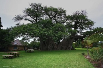 ต้นไม้อายุ6,000ปี ที่ข้างในกลายเป็นผับเก๋ๆ