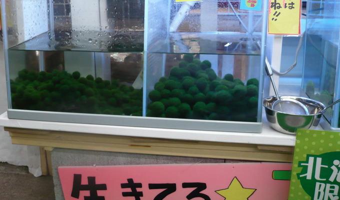 Screen Shot 2014 01 09 at 12.28.52 AM まりも Marimo มาริโมะ (Moss ball)พืชน้ำสุดฮิต