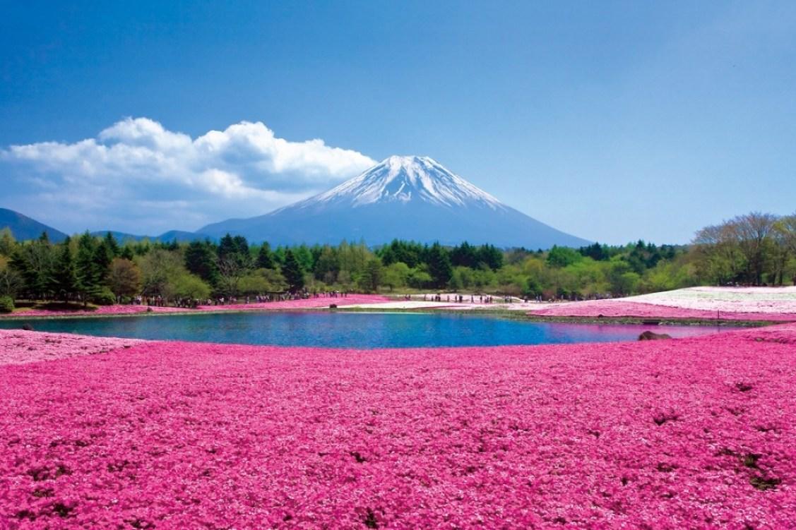 fuji moss pink Chiba Sakura ชิบะซากุระ ภูเขาปูพรมสีชมพู