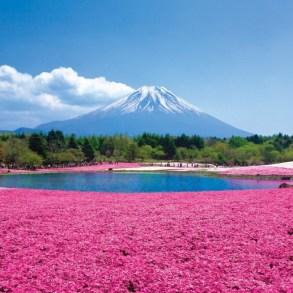 Chiba Sakura ชิบะซากุระ ภูเขาปูพรมสีชมพู 24 - chiba