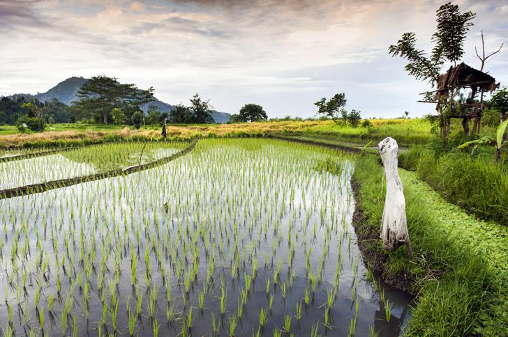 wpid rice paddy1 Plant e ผลิตไฟฟ้า พลังงานสะอาดจากการทำนา