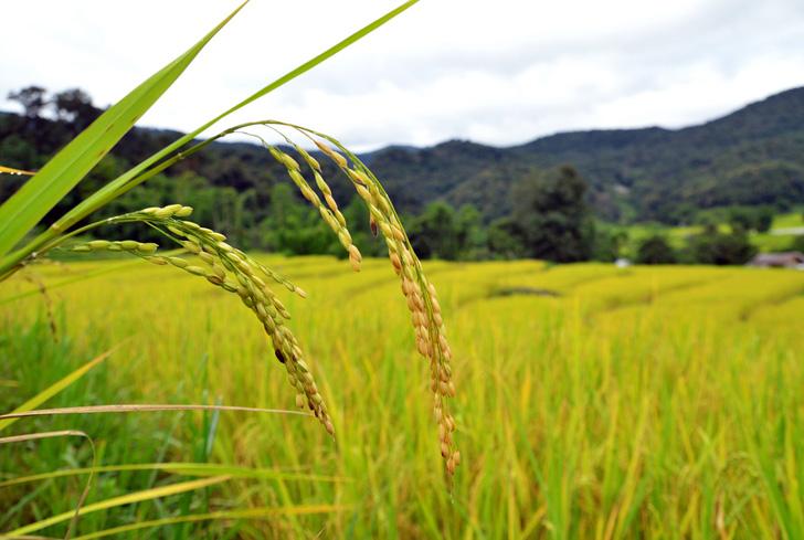 wpid rice paddy2 Plant e ผลิตไฟฟ้า พลังงานสะอาดจากการทำนา