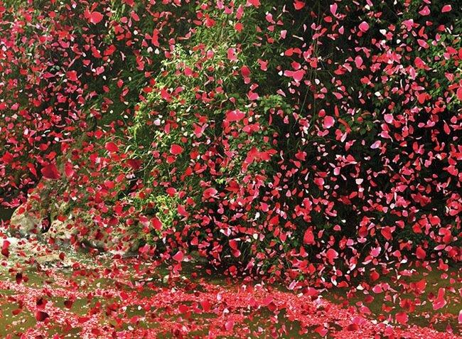 20140501 201910 เมื่อภูเขาไฟระเบิดเป็น 8 ล้านกลีบดอกไม้ ปกคลุมทั่วหมู่บ้านใน Costa Rica