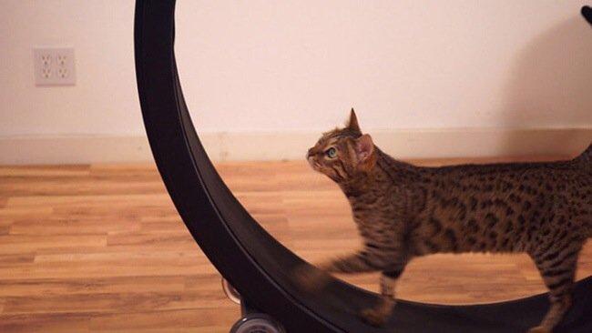 20140722 093742 34662307 One Fast Cat: แมวถีบจักร..เครื่องออกกำลังกายของแมว