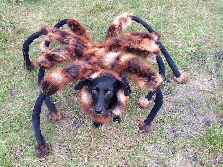 IMG 5227 สุดยอดไวรัลคลิป..Giant Spider Dog เมื่อสุนัขแต่งชุดแมงมุมยักษ์ออกอาละวาดทั่วเมือง