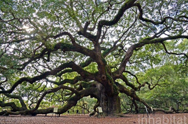 Angel Oak ต้นไม้ดึกดำบรรพ์อายุ1,400ปี ใน South Carolina 13 - forest