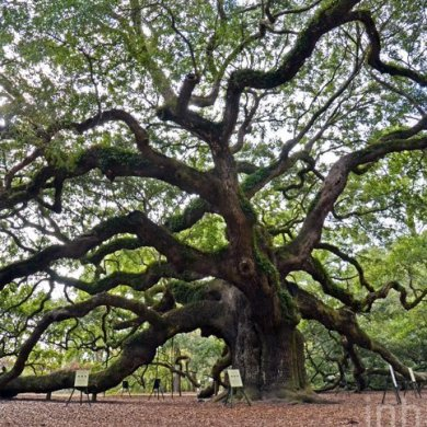 Angel Oak ต้นไม้ดึกดำบรรพ์อายุ1,400ปี ใน South Carolina 15 - forest