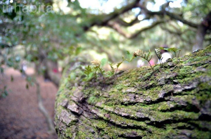 IMG 6002 Angel Oak ต้นไม้ดึกดำบรรพ์อายุ1,400ปี ใน South Carolina