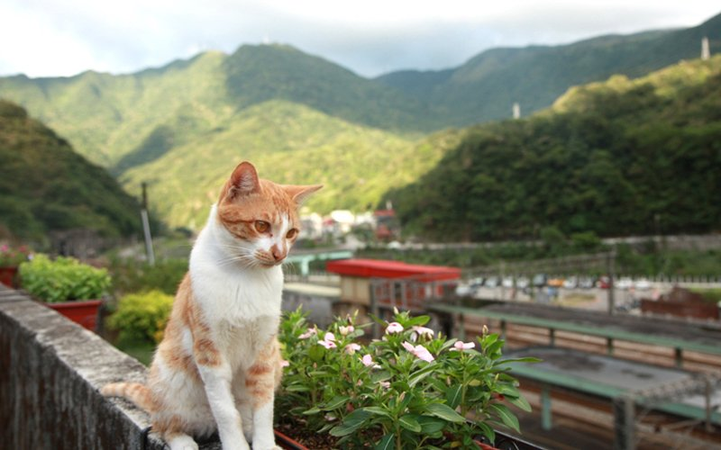 Houtong หมู่บ้านแมวเหมียว Houtong Cat Village บนเกาะไต้หวัน