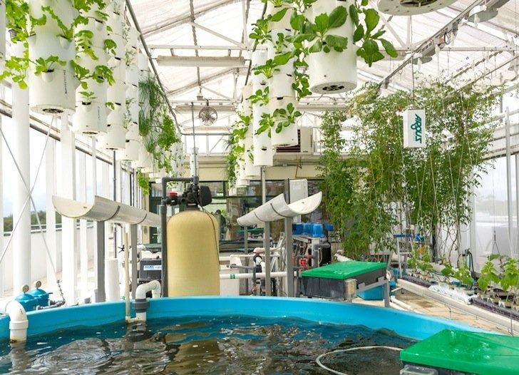 IMG 6716 สวนเกษตรบนหลังคาตึก ปลูกผักด้วยระบบ hydroponics ช่วยบำบัดน้ำเสียในบ่อเลี้ยงปลา