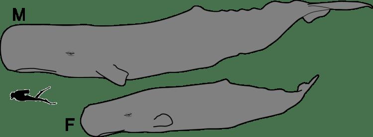 เทียบขนาดกับมนุษย์ (บน) วาฬเพศผู้ / (ล่าง) วาฬเพศเมีย