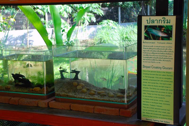 """fishdisplay พิพิธภัณฑ์ปลากัดไทย ตั้งอยู่ในพื้นที่ """"เกาะกระเพาะหมู"""""""