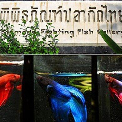"""พิพิธภัณฑ์ปลากัดไทย ตั้งอยู่ในพื้นที่ """"เกาะกระเพาะหมู""""  23 - Museum"""