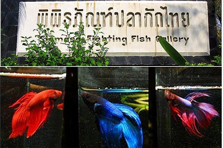 """พิพิธภัณฑ์ปลากัดไทย ตั้งอยู่ในพื้นที่ """"เกาะกระเพาะหมู""""  24 - Museum"""